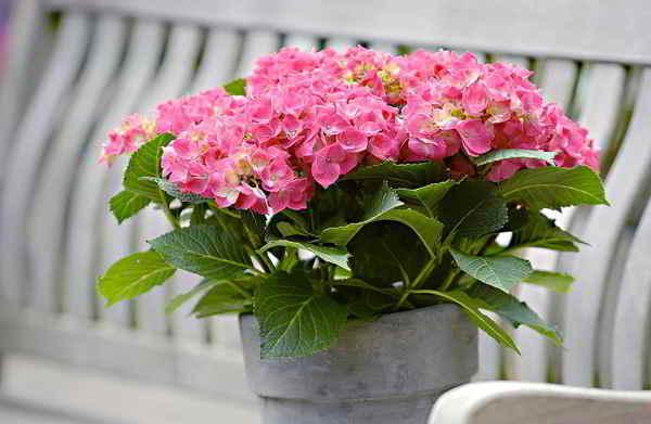 ý Nghĩa Hoa Cẩm Tú Cầu Và Những Hình ảnh Hoa Cẩm Tú Cầu đẹp